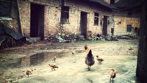 Hens in a farmyard in China (Pic: Naomi Lee, Leitrim)