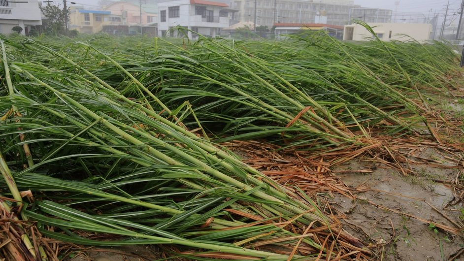 Rows of sugar cane are flattened by strong winds in Tomigusuku, Okinawa