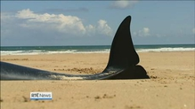 Sad end for beached whales in Donegal