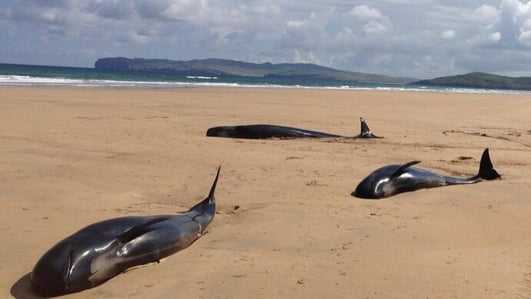 Donegal's Beached Whales