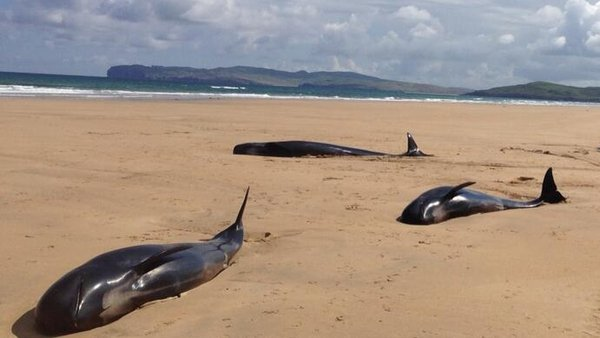 A total of 13 whales became stranded on the beach on Monday