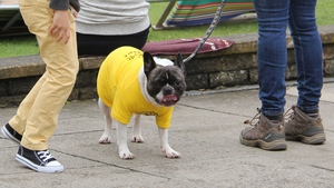 A dog is dressed in a yellow jersey in Leeds ahead of the Grand Depart, marking the start of 2014 Tour De France