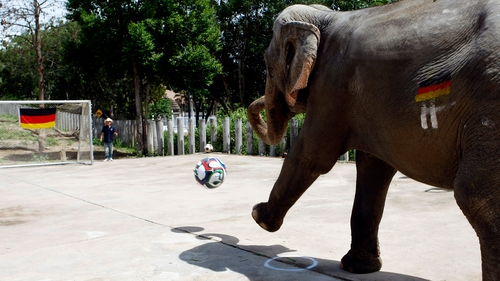 An elephant kicks a football to 'predict' a German World Cup win at a zoo in Chiang Mai province, northern Thailand