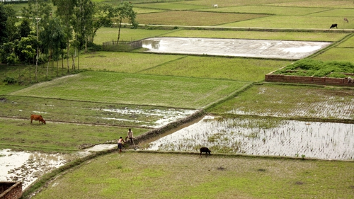 Images from Gaibandha: paddy fields