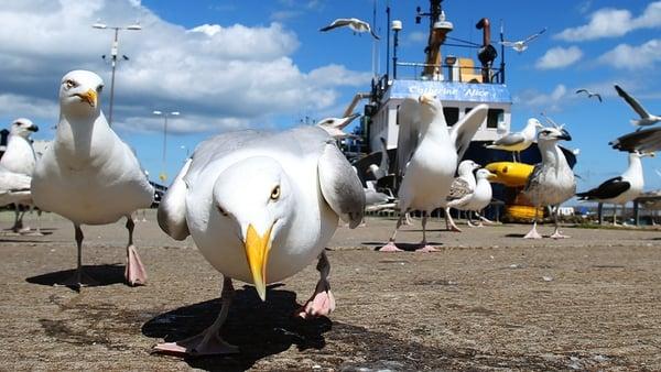The Senator said seagulls have killed rabbits and lambs