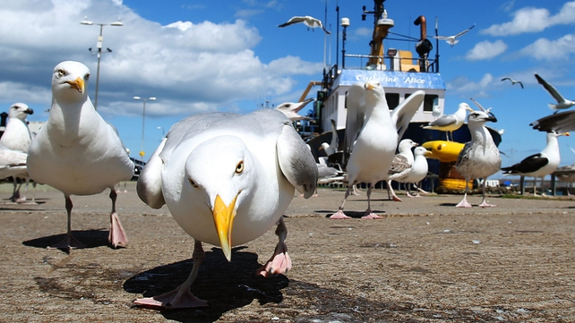 Seagulls looking for scraps in Howth, Co Dublin