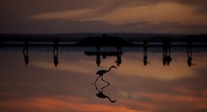 Flamingo chick on the Fuente de Piedra lake, 70km from Malaga, Spain