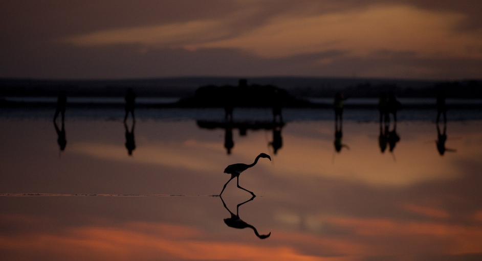 Flamingo chick on the Fuente de Piedra lake, 70km from Malaga, Spain