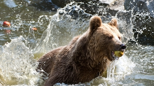 A brown bear enjoys a snack and a swim at Wroclaw Zoo in Poland