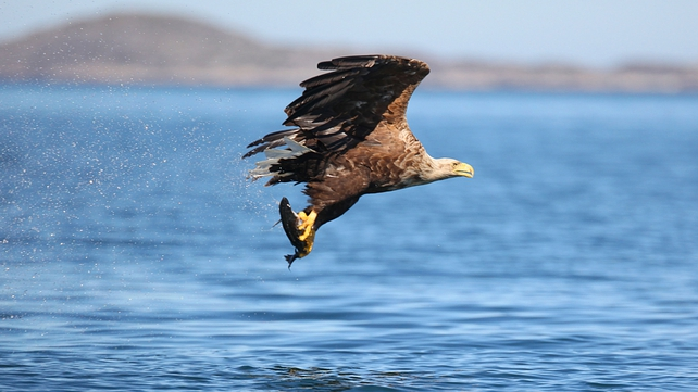 The eagles were originally collected as chicks off the west coast of Norway