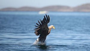 The eagles were the first of their kind to successfully hatch a chick in Ireland for 110 years