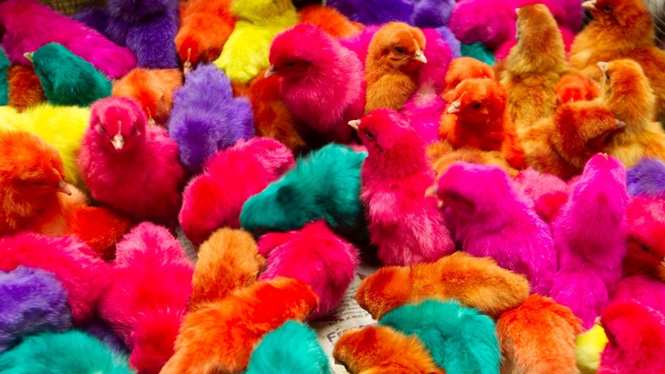 Coloured chicks are sold at a street in Manila, Philippines. They are often bought as house pets