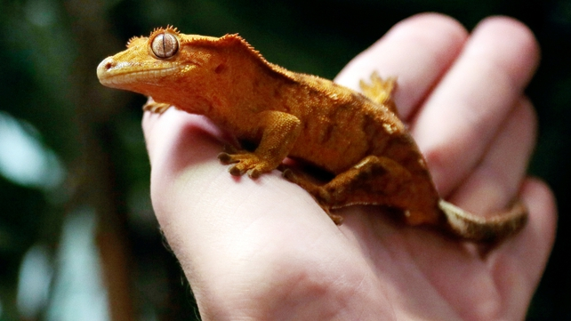 Geckos are being used in an experiment testing effects of weightlessness