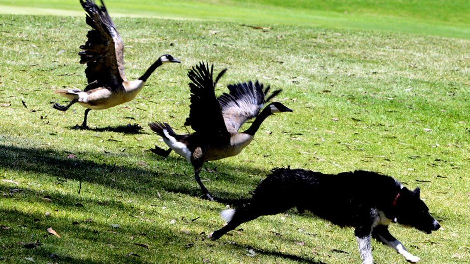 Canadian geese chase a dog at La Cumbre Country Club in Goleta, California, USA   Pic: courtesy of EPA