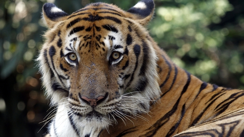 To mark International Tiger Day WFF is calling on countries to compile data on tiger population