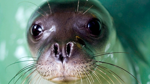 The Mediterranean monk seal is one of the rarest sea animals in the world