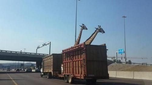 The giraffe died after hitting its head against an overhead bridge