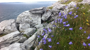 Flowers growing between limestone rock at Blackhead in the Burren, Co Clare