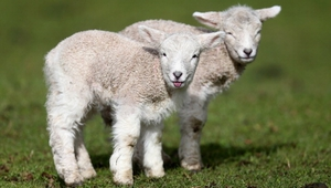 New born lambs at Cornwall Park in Auckland, New Zealand.