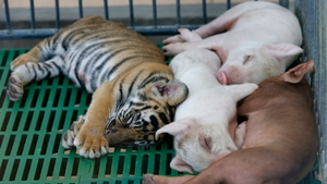 A tiger cub takes an afternoon nap with piglets at Sriracha Tiger Zoo, in Pattaya, Thailand