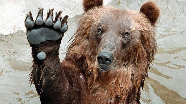 Polish apples are a particular favourite of the bears at Moscow Zoo
