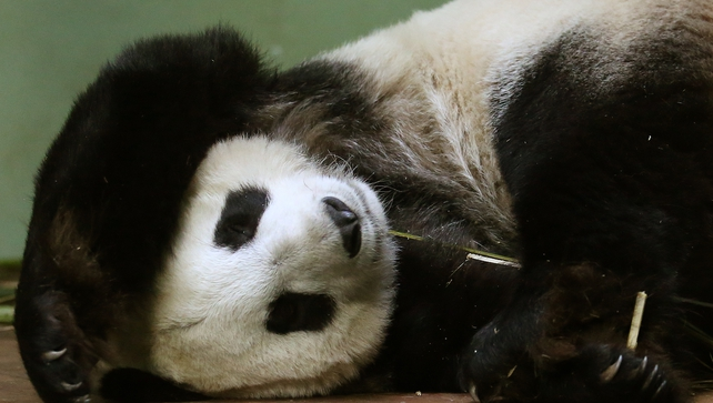 Tian Tian sleeps in her enclosure at Edinburgh Zoo