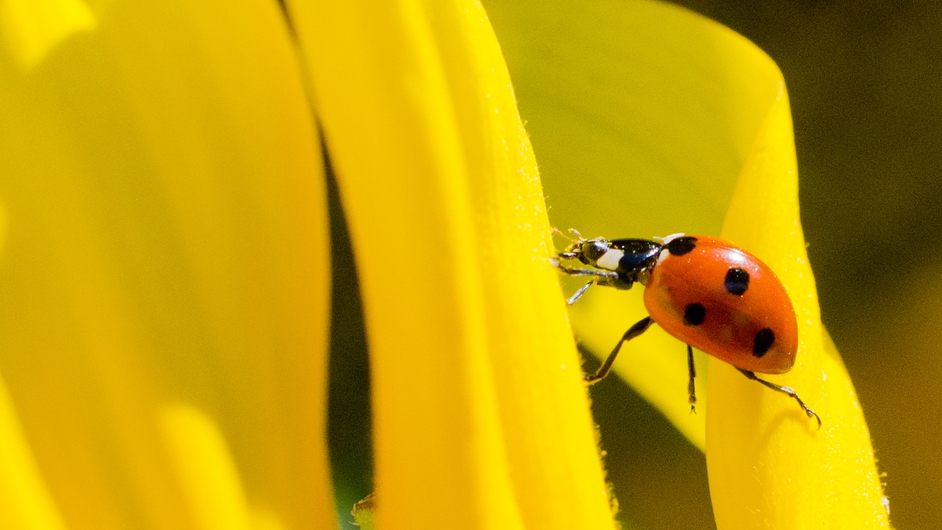 A ladybird crawls across a sunflower leaf in Germany