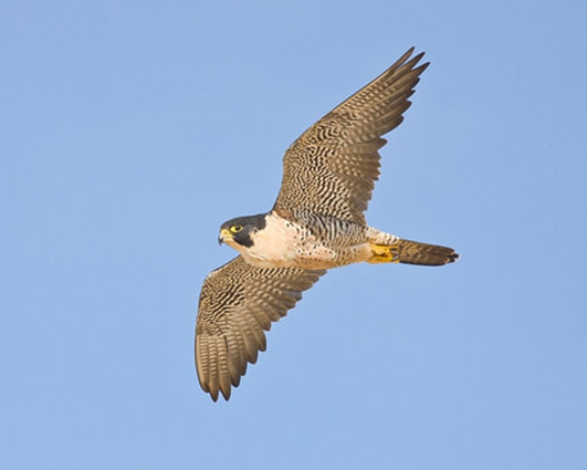 Peregrine falcon illegally shot in Co Wexford