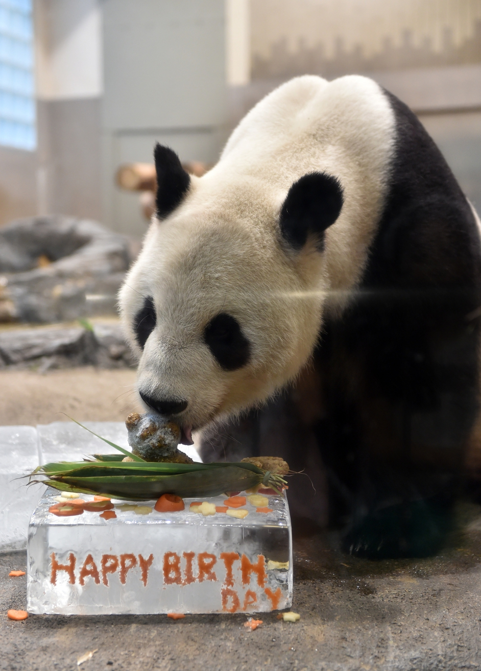 Ri Ri the giant panda eats a cake to celebrate his ninth birthday at Ueno zoo in Tokyo