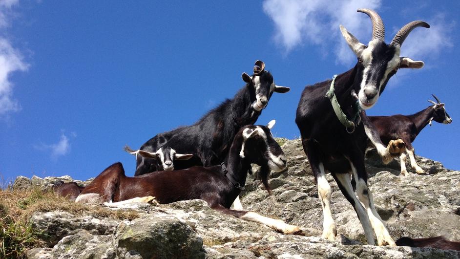 Goats on Cape Clear island (Pic: Mícheál Ó Lionáird)