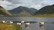 'Sheep dip' at Doo Lough in Co Mayo (Pic: Shane Coogan) Share your im