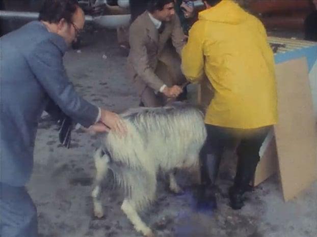 King Puck Goat