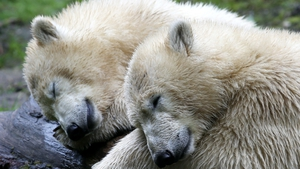 Polar bear twins Nobby and Nela sleep in their enclosure of the Tierpark Hellabrunn zoo in Munich, southern Germany
