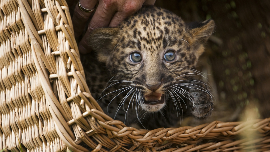 An eight week old leopard cub looks out from its basket as it is shown to media and public at the Tierpark zoo in Berlin