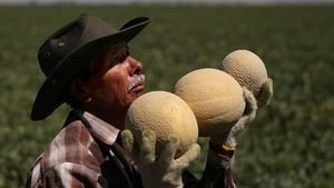 A worker harvests cantaloupes near Firebaugh, California as drought continues for a third straight year