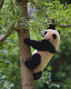 Bao Bao climbs a tree during a Zhuazhou birthday ceremony on her first birthday in Washington, DC