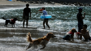 Pet dogs wear life jackets and take a bath in the sea at Takeno Beach
