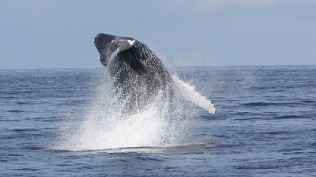 Humpback whale breaching off the Kerry coast (Pic: (c) Pádraig Whooley, IWDG)