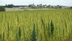 A field of legal cannabis plants selected for their low content of THC grows near Meaux, France