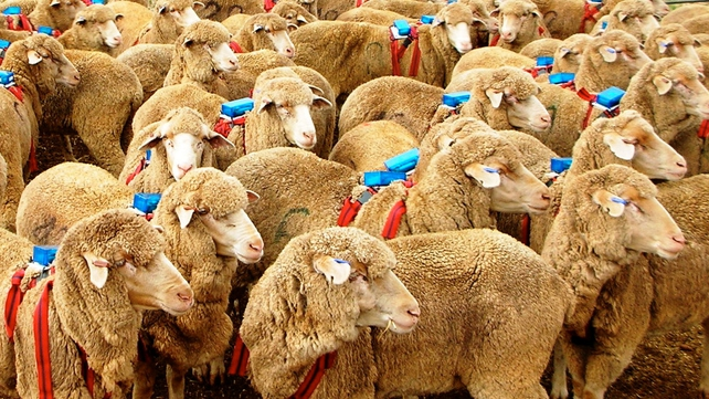 Researchers fitted a flock of sheep and a sheepdog with backpacks containing highly accurate GPS 'satnavs'