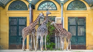 Giraffes are grouped next to the entrance of their closed enclosure at the end of visitors' hours at Schoenbrunn Zoo in Vienna