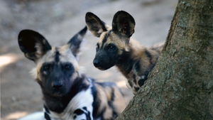 A two African wild dogs at a zoo in Rome
