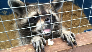 The DSPCA apointed out that raccoons have the potential to become invasive in Ireland if they escape or are released
