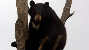 Experts say attacks by black bears on humans are unusual
