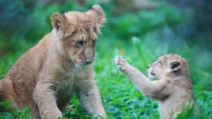 The cub was born on August 11 Photo: Patrick Bolger