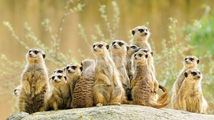 How meerkats show their young to safely handle scorpions for eating is one well-known illustration of teaching in animals