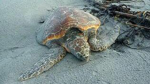 The turtle is now ready to be released