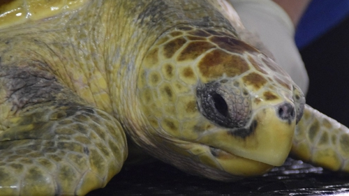 Leona was nursed back to health by the staff of Galway Atlantaquaria (pic: Celestial Green Ventures)