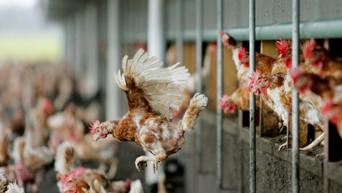 Fourth farm in Netherlands reports outbreak of bird flu