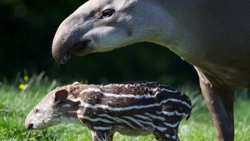 File image of a mother tapir and baby